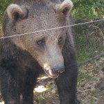 bear-sanctuary-bulgaria