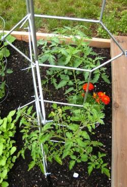IKEA Salvia Trellis as a Tomato Ladder
