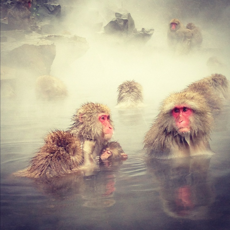 snow monkeys in Yudanaka, Japan