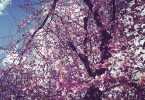 cherry-blossoms-portland