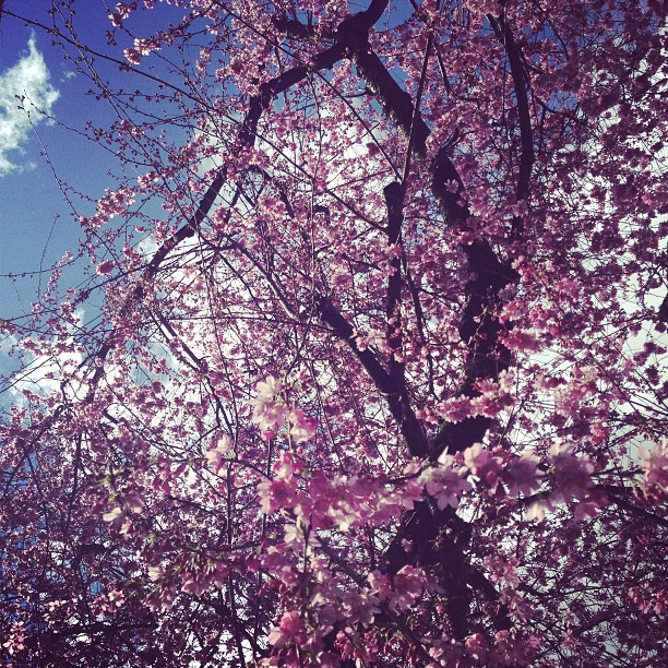 cherry-blossoms-portland