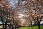 Portland cherry blossoms